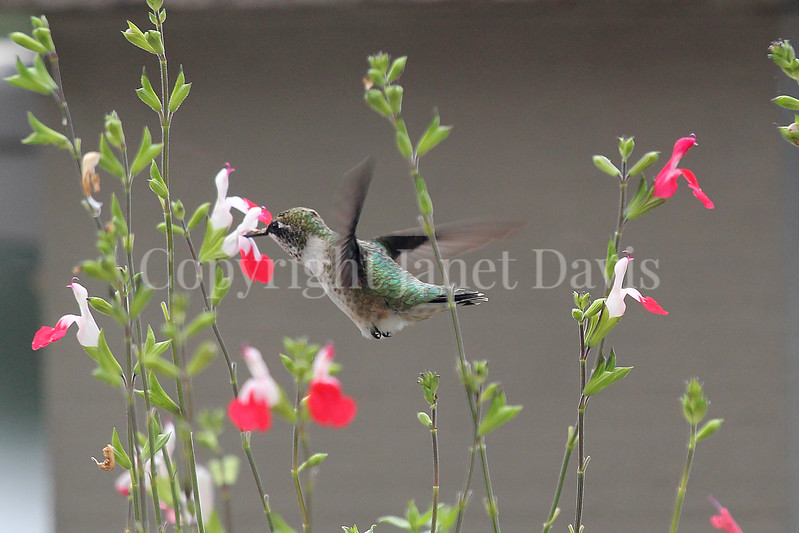 Archilochus colubris – Ruby throated hummingbird on Salvia 'Hot Lips' 1