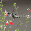 Archilochus colubris – Ruby throated hummingbird on Salvia 'Hot Lips' 1
