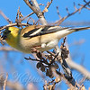 White Rock Lake Goldfinch View 1