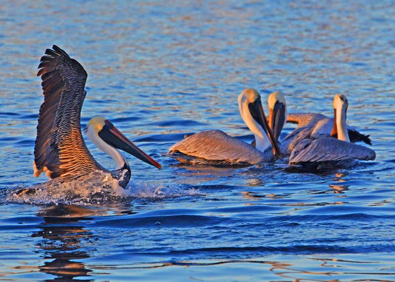 Golden Hour Brown Pelican photo.