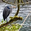 Great Blue Heron Along the Clackamas