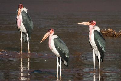 Ugly Storks in Samburu, Africa.