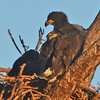 """Golden Hour"" eaglets in their nest."