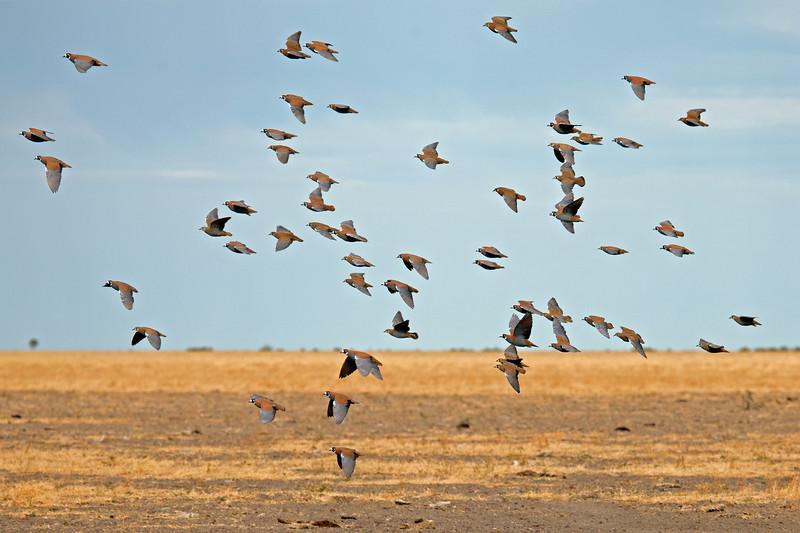Flock Bronzewings in flight