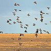 Flock Bronzewings in flight