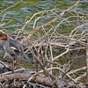 Immature (Female) Red-breasted Merganser ~ Mergus serrator
