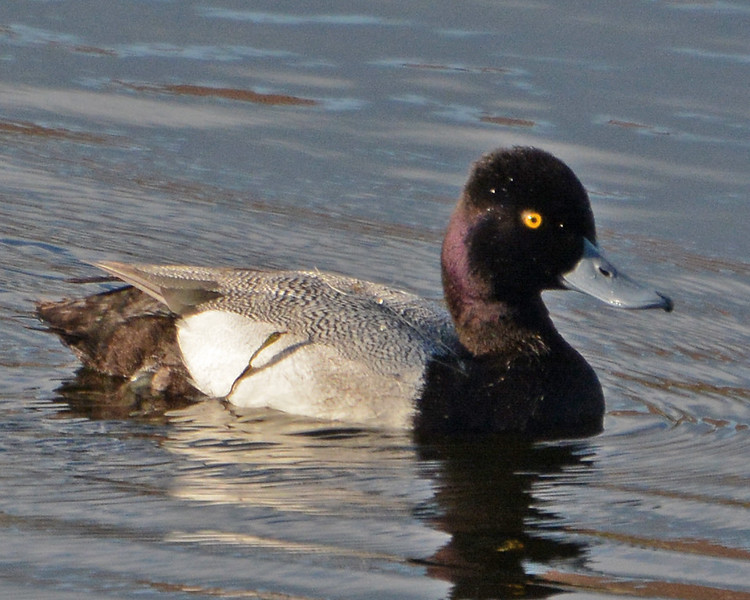 Lesser Scaup (adult male)