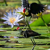 Comb-crested Jacana, Gold Coast, Queensland.