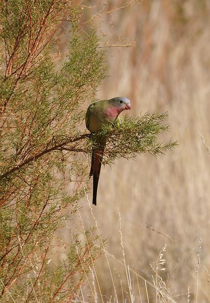 Feeding Princess Parrot