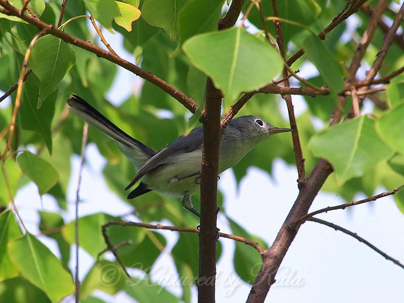 Female Blue-gray Gnatcatcher
