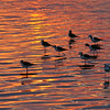 Black-winged Stilts (Himantopus leucocephalus) at sunset