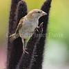 Passer domesticus – House sparrow 3