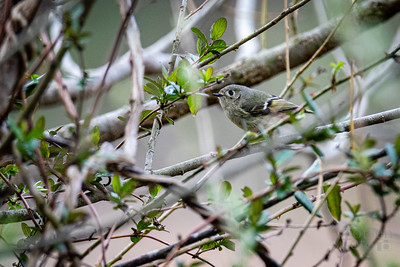 Ruby-crowned Kinglet at Riverbend Park