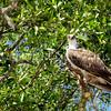 Pandion haliaetus – Osprey