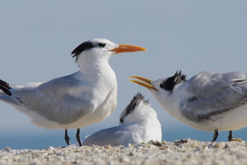 Royal Tern juvenile begs for food Assateague Island, VA 11/2013