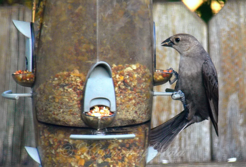 Female Cowbird At My Daughters Feeder