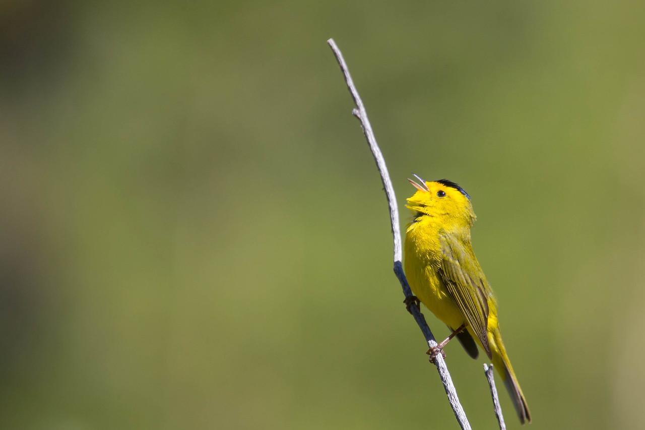 IMAGE: https://photos.smugmug.com/Birds/i-kVFGNZb/0/af468991/X2/AO0O7736-X2.jpg