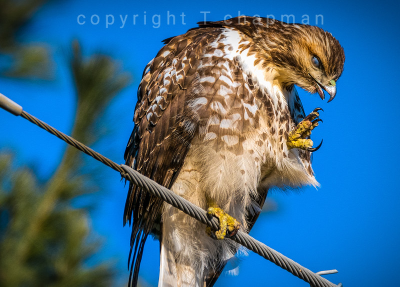 Hawk Looking Prehistoric
