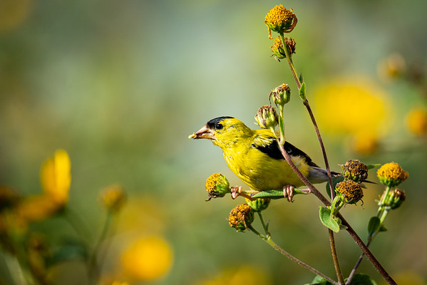 American Goldfinch in My Backyard