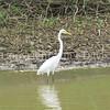 Ardea alba egretta – Great Egret