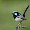 Superb Blue Fairy Wren, Main Beach, Qld.