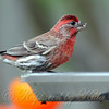 Fiery Little House Finch