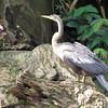 Anhinga anhinga – Snakebird 2