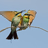 Rainbow Bee-eaters with Food, Federation Walk, Gold Coast, Queensland.