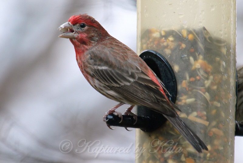 Mr. House Finch Likes Safflower Seeds