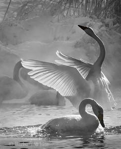 Whooper Swans II