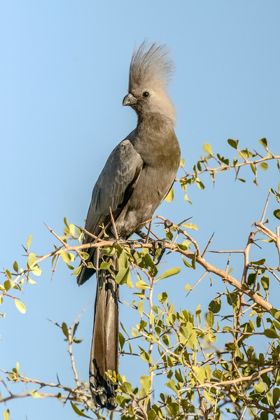 Grey go-away-bird #1