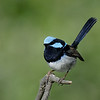 Superb Blue Fairy Wren,<br /> Main Beach, Qld.