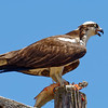Pandion haliaetus | Osprey | Fischadler
