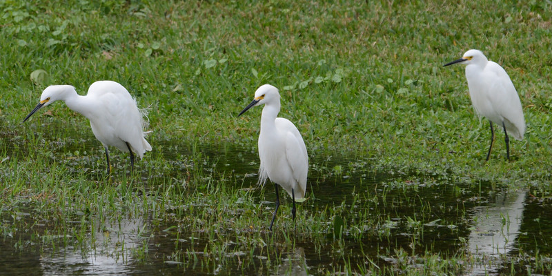 Three Snowy Egrets at feeding time.
