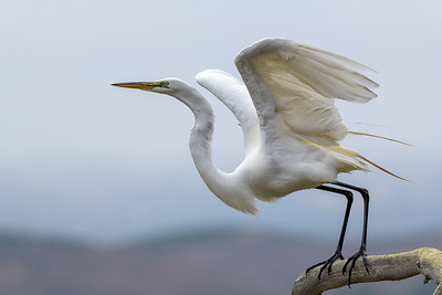 Great Egret, Taking Off from a Tree