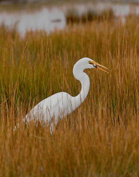 Great Egret Hunting, Hammonassett Beach State Park, CT