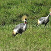Balearica regulorum – Grey crowned cranes 2