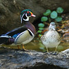 wood ducks shot in Central Florida
