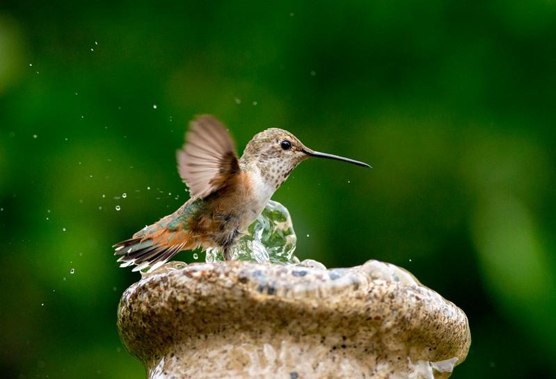 Cooling off - Allen's Hummingbird
