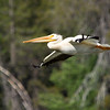 White Pelican in Flight.   Round Valley Lake near Greenville, California.