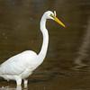 Eastern Great Egret, Schuster Park, Burleigh Heads, Queensland.