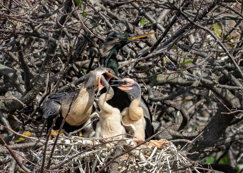 Anhinga Family at Mealtime