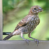 Female Juvenile House Finch At My Finch Feeder