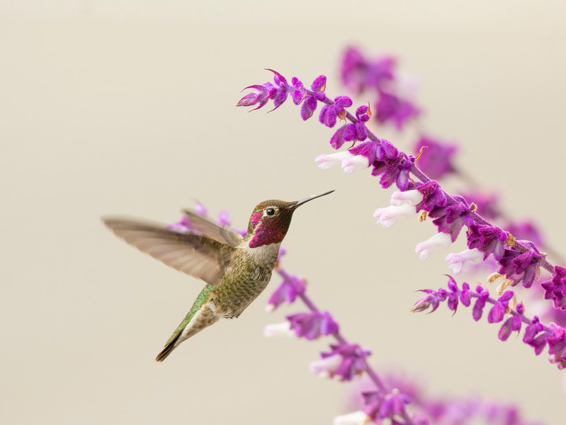 Hummingbird and Sage II