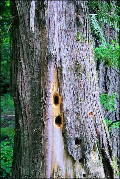 "Pileated Woodpecker ""Excavation Holes"" . . ."