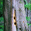 "Pileated Woodpecker ""Excavation Holes"" . . ."