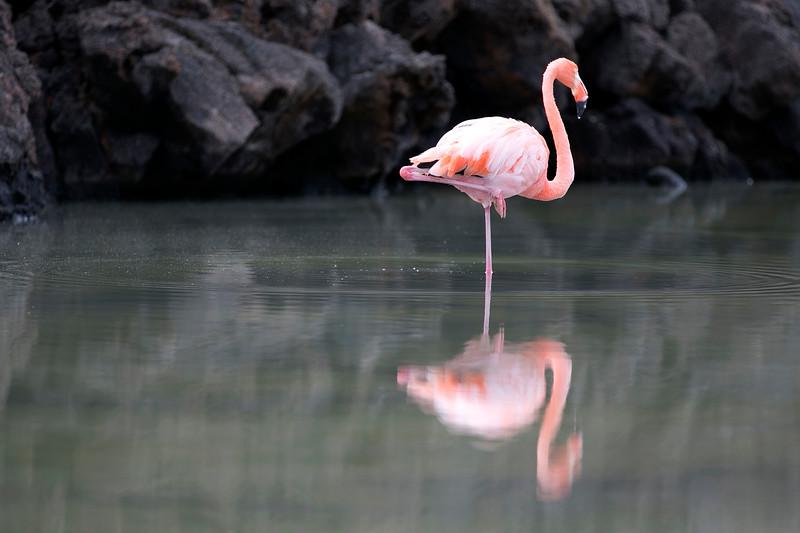 Flamingos, Playas Las Bachas, Las Bachas, Santa Cruz Island, Galápagos Islands, Ecuador