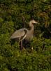BonitaBay Great Blue Heron in mangrove,profile _6111_1-9-2020_DonnaLovelyPhotos com
