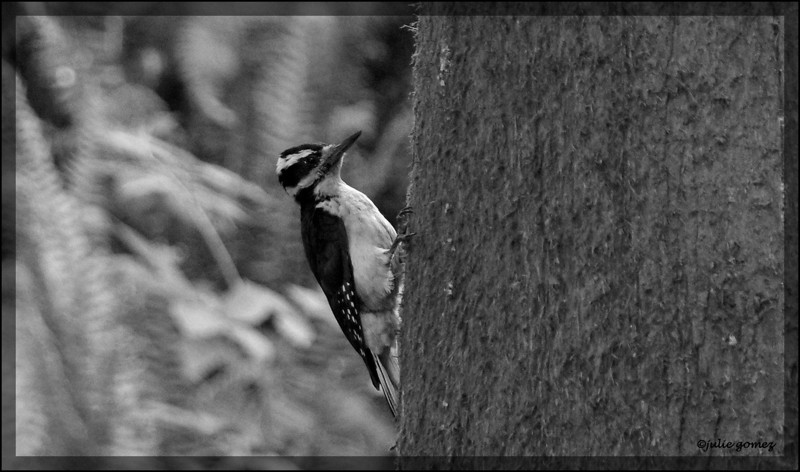 Female Hairy Woodpecker ~ Picoides villosus