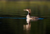 A young loon in beautiful light
